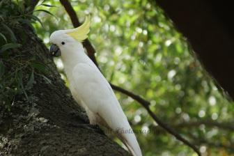 Cookatoo in Blackwood Tree