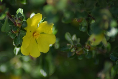 Hibbertia Cuneiformis (cutleaf Guinea Flower)