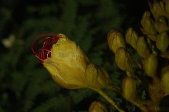 Bud of Bird of Paradise Tree