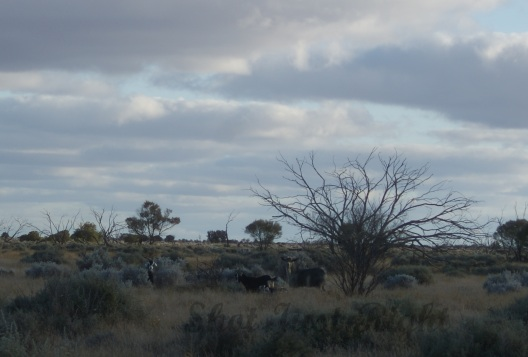 Wild Goats near Broken Hill