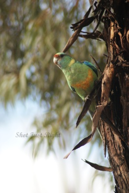 Australian Ring neck Parrot at Broken Hill