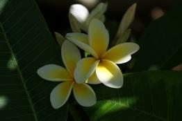 Tropical Frangipanis