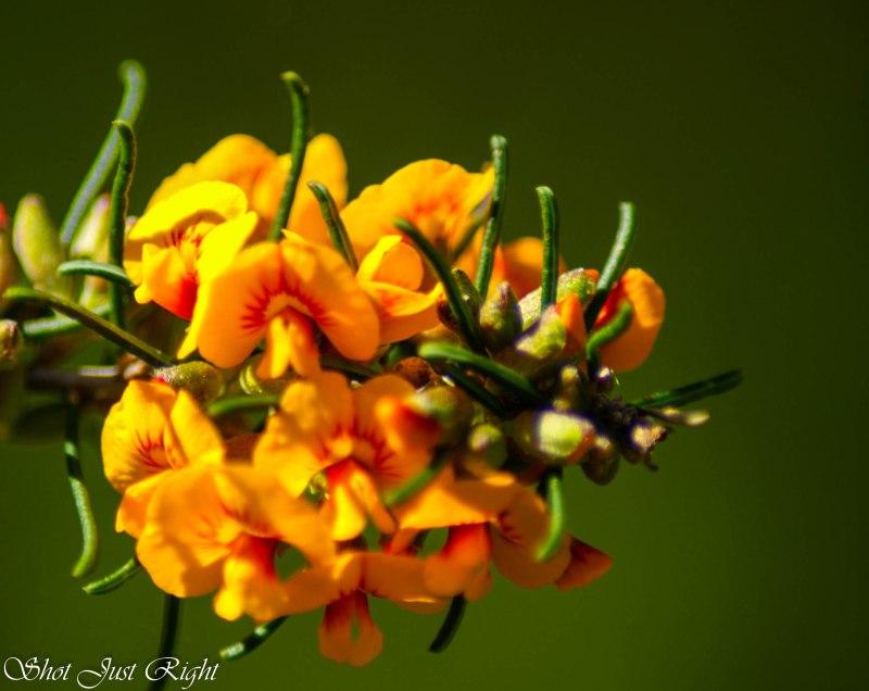 Orange peas flowers