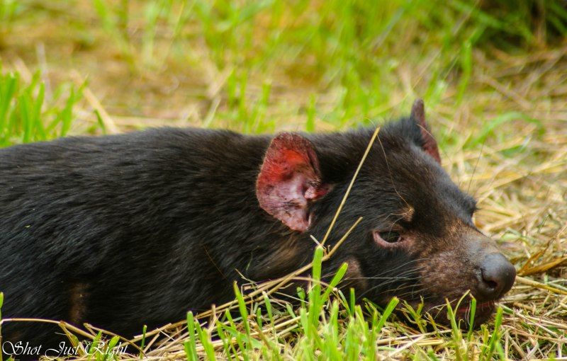 A chilled out Tasmanian Devil