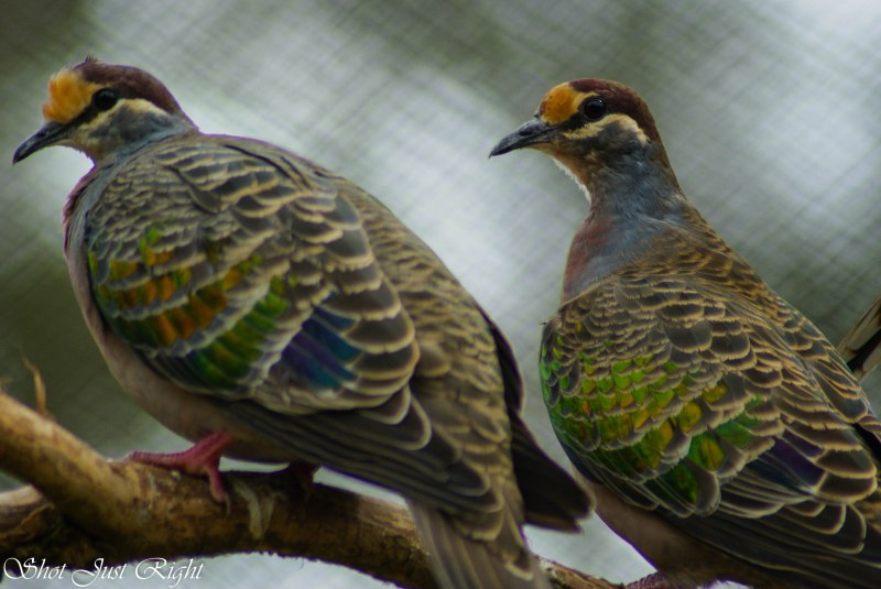 Pair of Common bronze wing doves