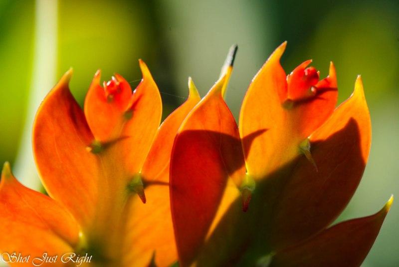 Sun shining through Clay wattle foliage