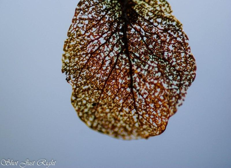 An eaten Eucalyptus Leaf