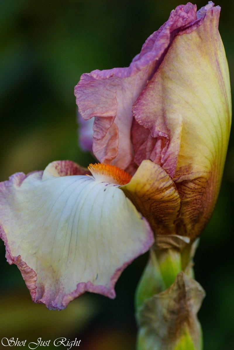 An Opening Iris