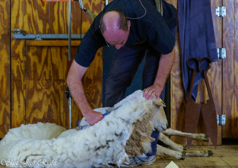 Sheep shearing demonstration with blades
