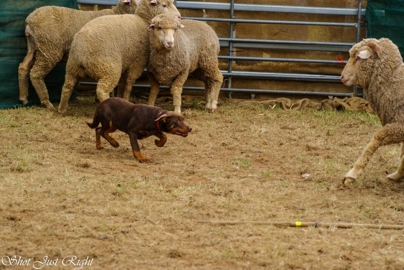 Demonstration of Kelpies working with sheep