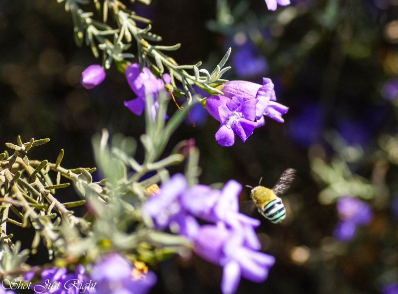Blue striped bee - so fast