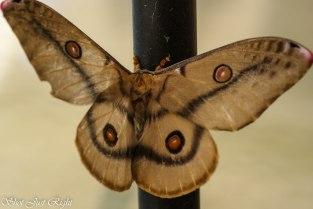 Emperor Gum Moth - female