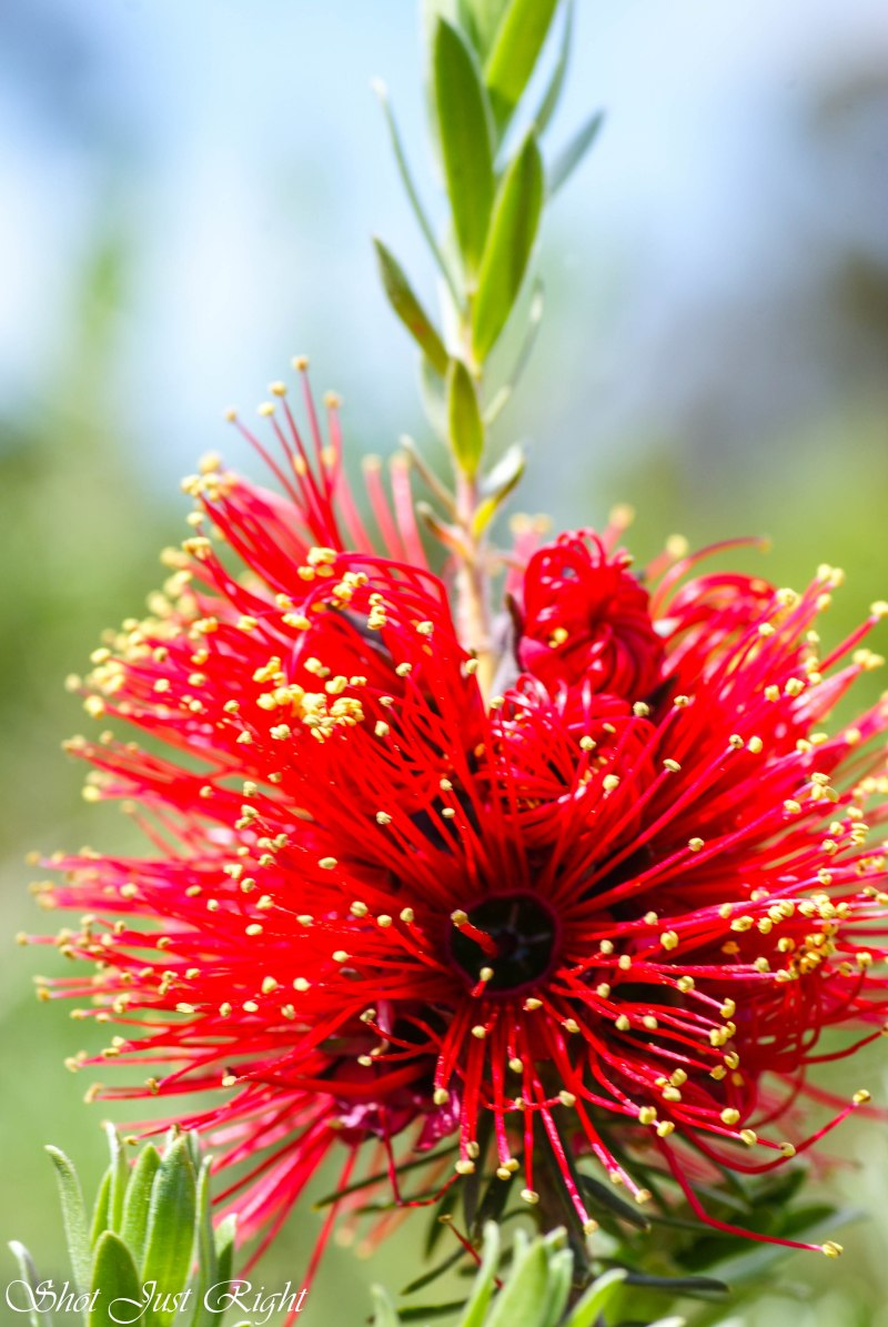 Kunzea - Native flower