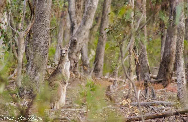 Female Roo with a rather large joey in her pouch