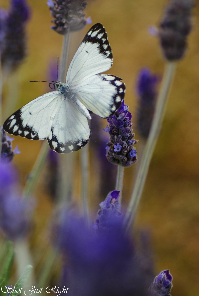 Black and White Butterfliy