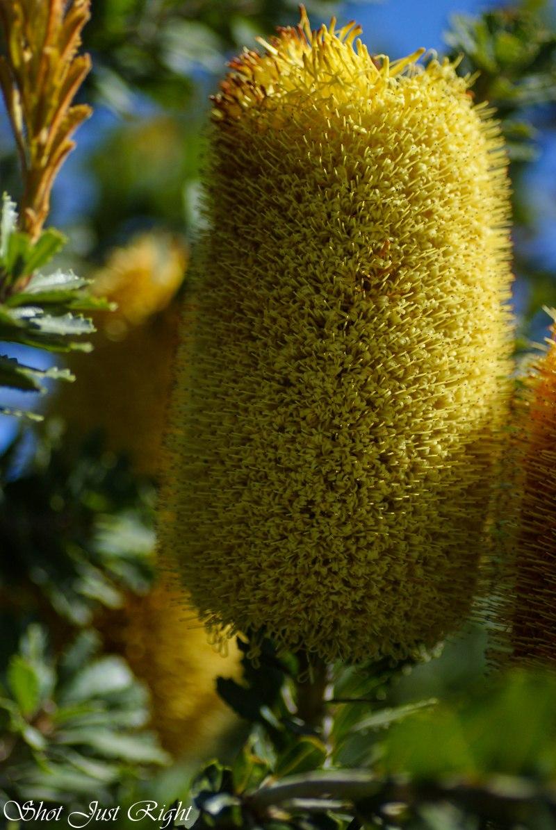 giant banksia flower
