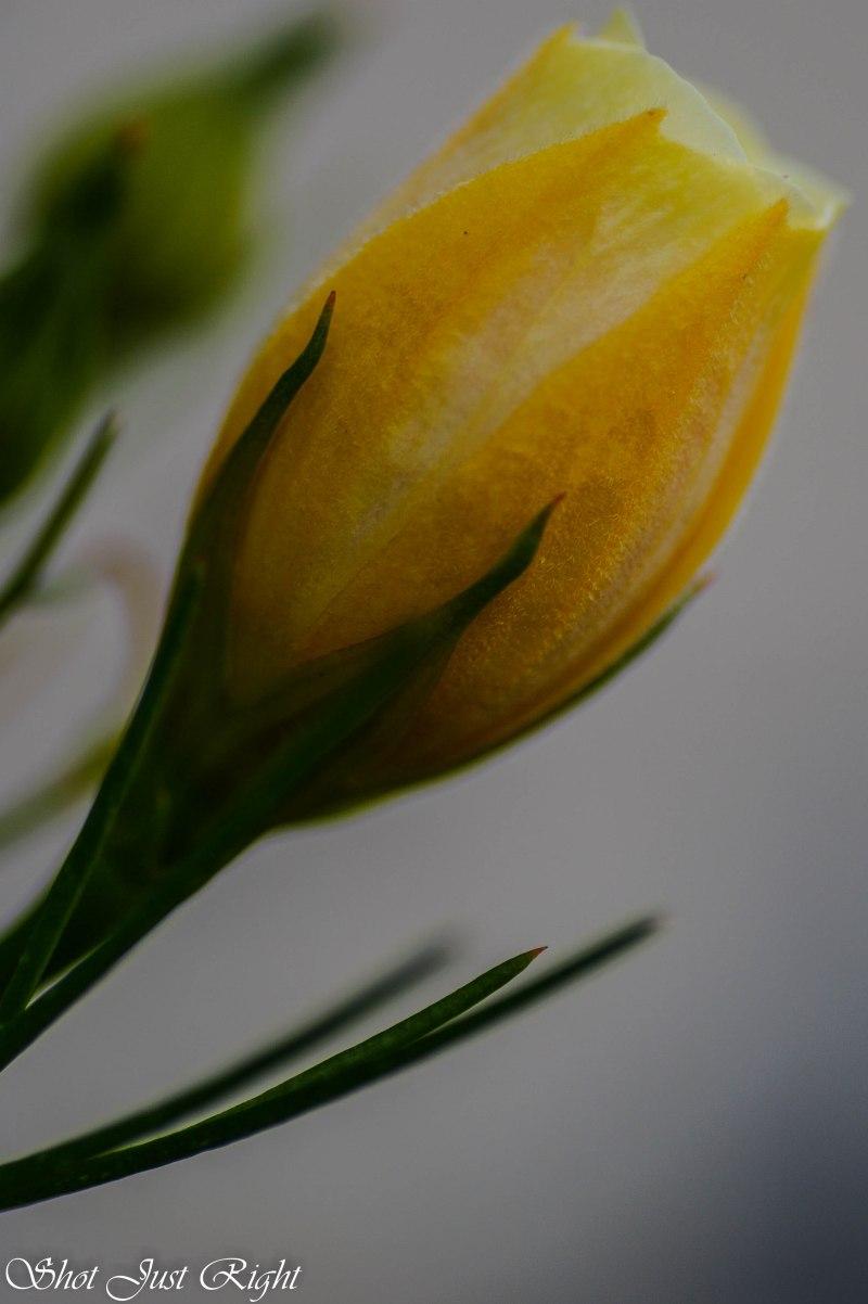 Yellow native hibiscus opening