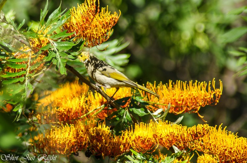White plummed honeyeater  feeding in Grevillia Robusta