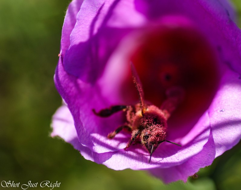 A pink bee pollinating a flower