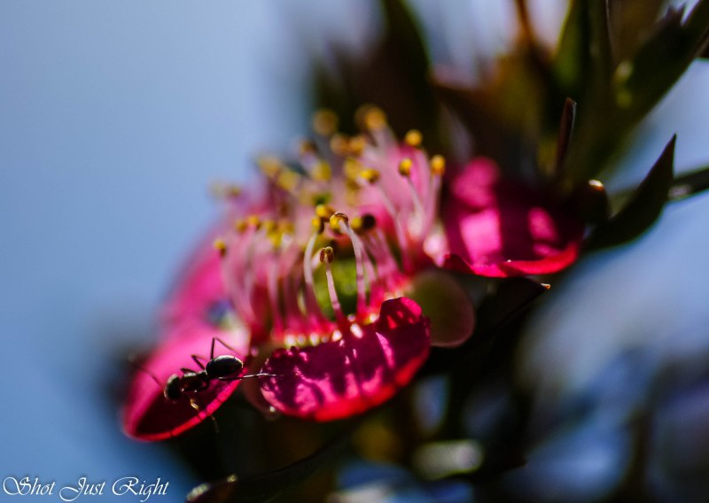 Ant visiting a tea tree flower