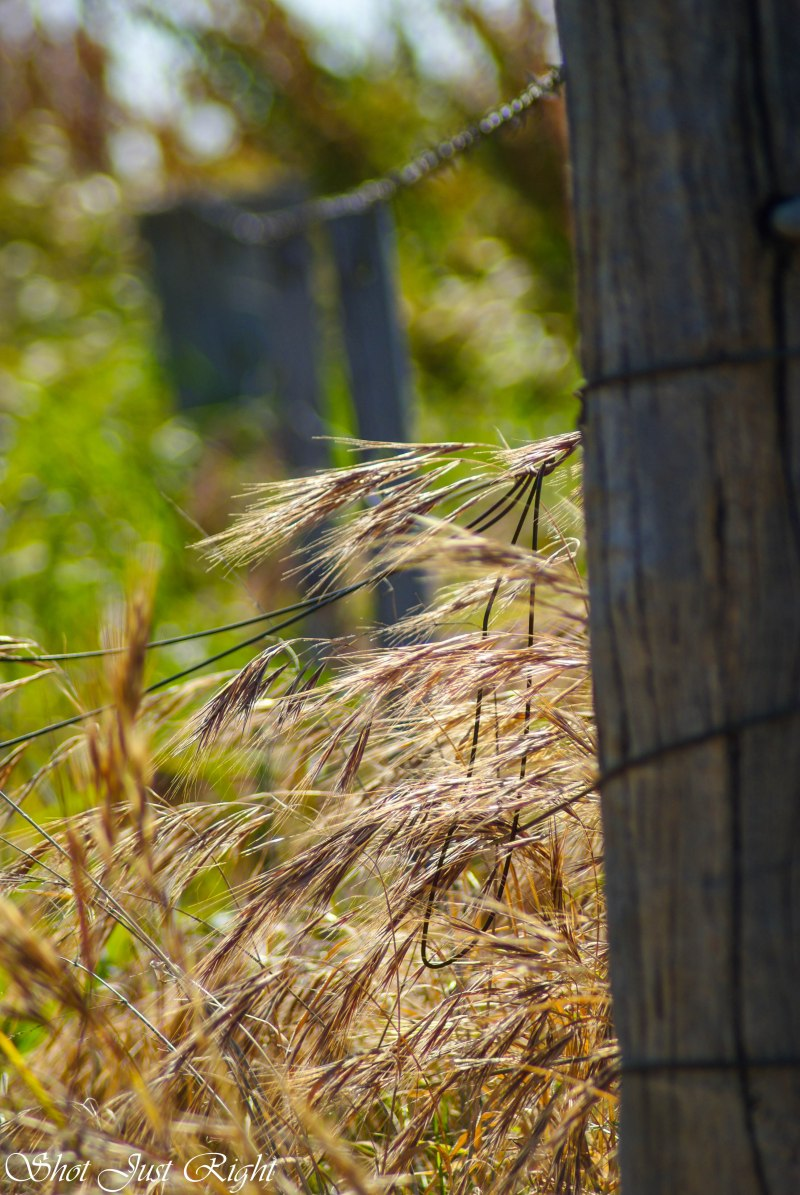 Weeping Grasses