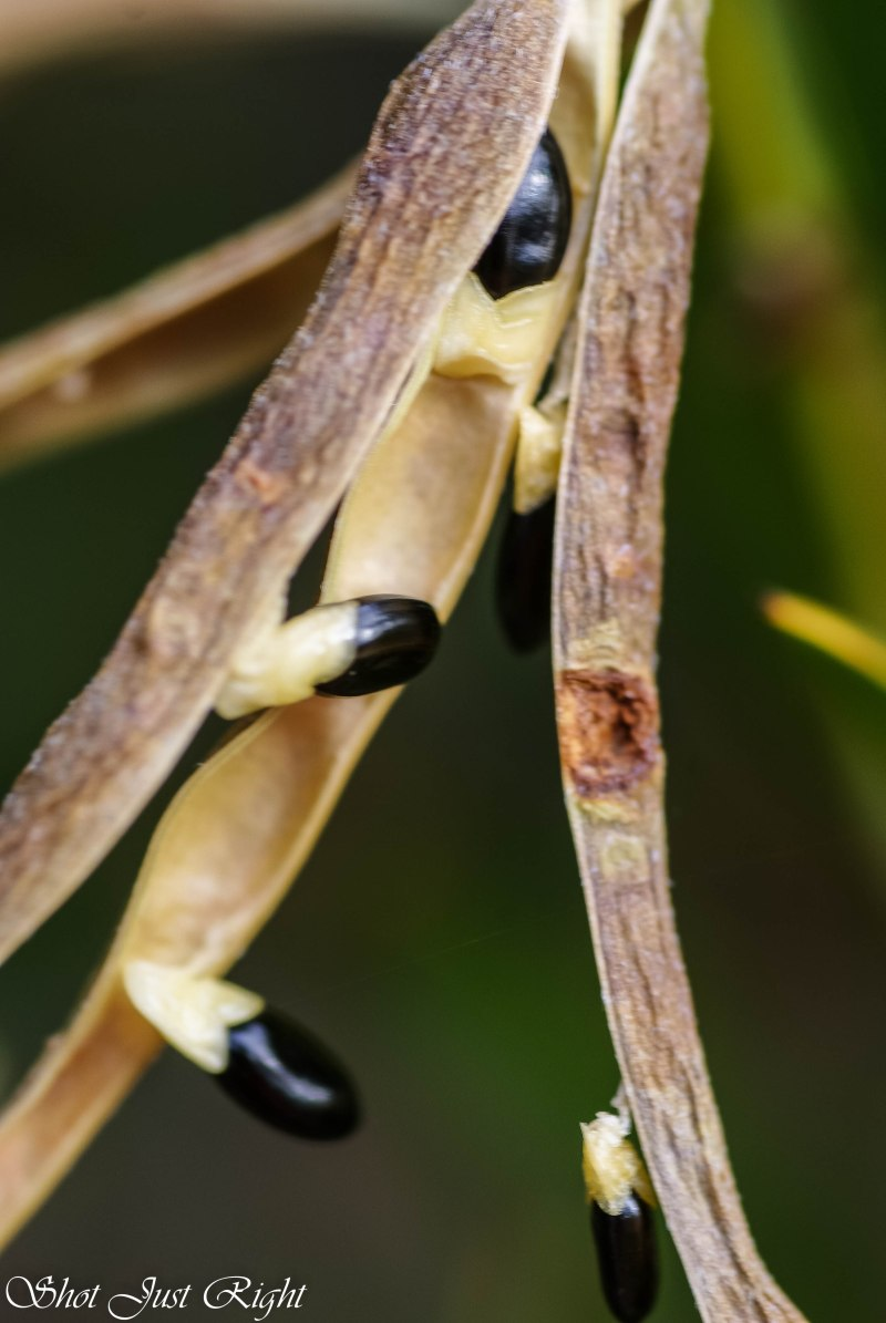 All in a row- wattle seeds