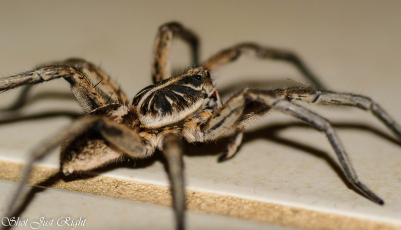 The Roaming Wolf Spider