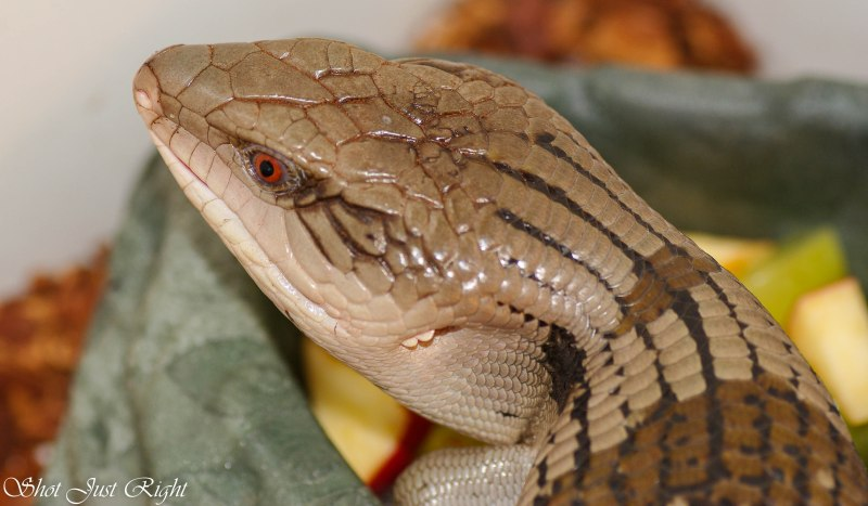 Blue Tongue Lizard spends his time at School