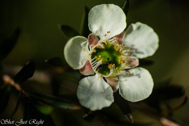 Tee Tree - White flowers, burgundy folage