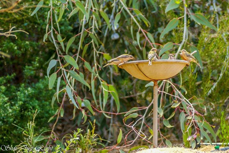 Brown Headed Honey eaters enjoying my Bird bath