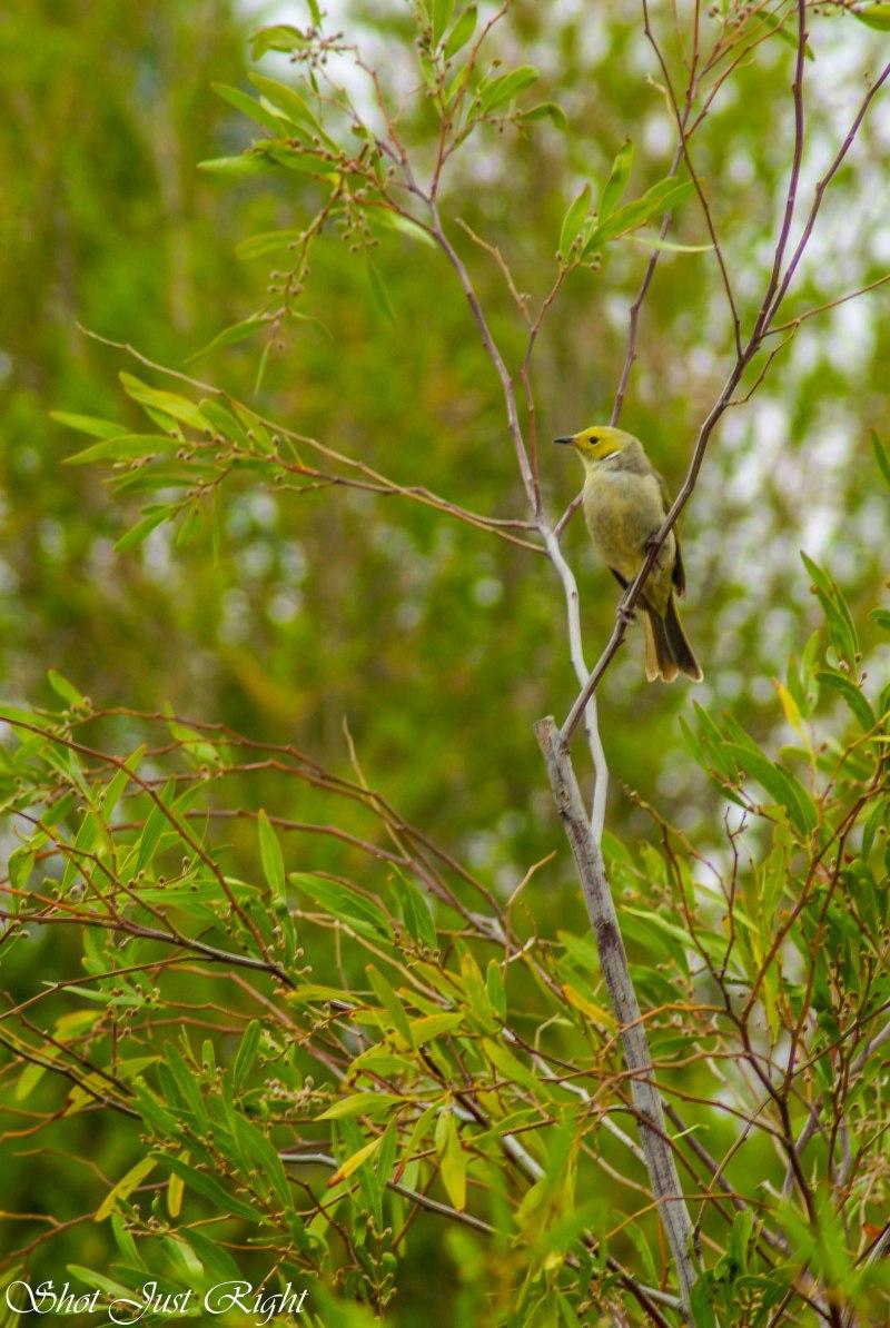 White plummed honey eater in a wattle tree