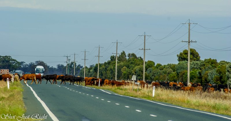 Droving on the Cobb Hwy, Moama