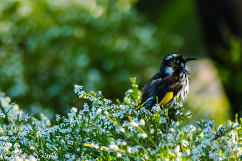 New Holland honey eater at Cranbourne