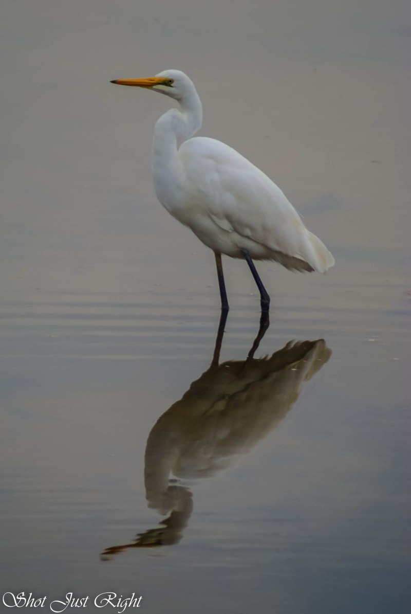 Intermediate Egret and his reflection