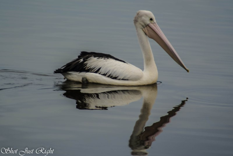 Graceful Pelican and Reflection