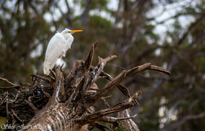 Intermediate Egret Roosting next to the Murray River.