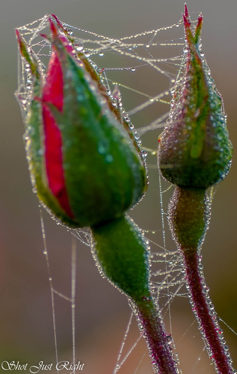 Roses and Spiderweb