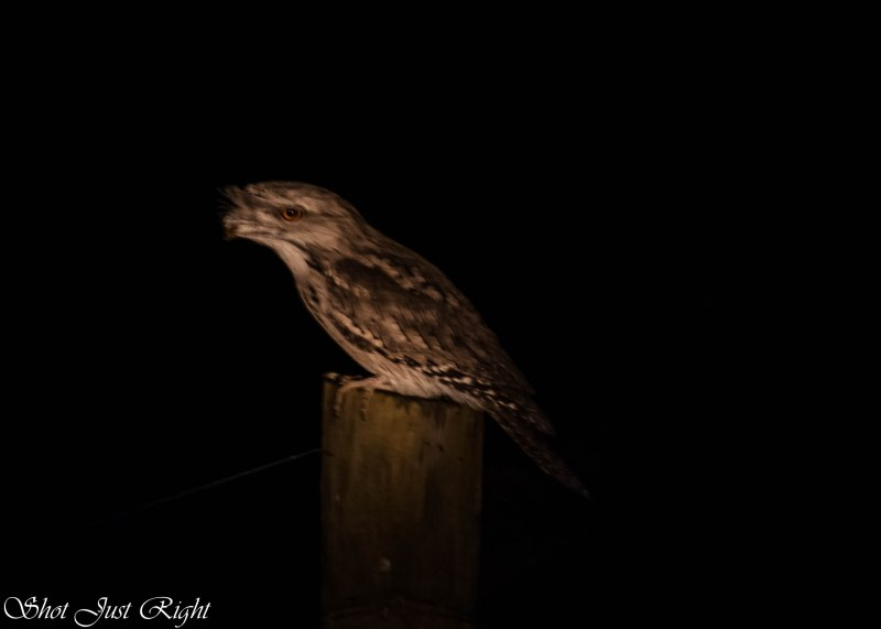 Tawny Frogmouth - not bad for no tripod,shot on manual and under torch light.