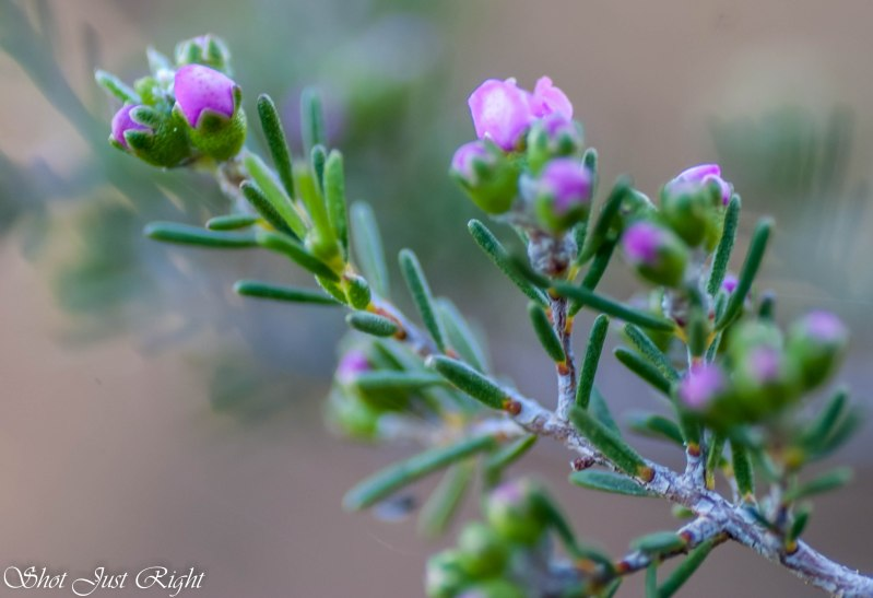 Kunzea starting to flower