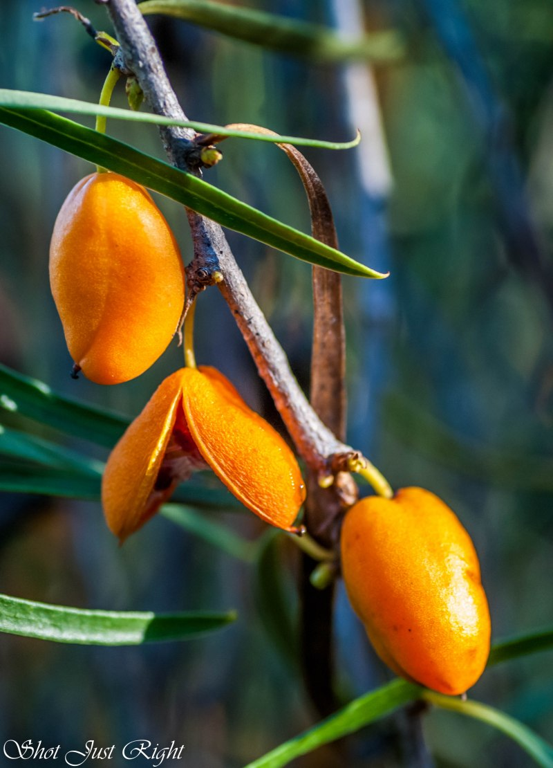 Fruit of Native Apricot