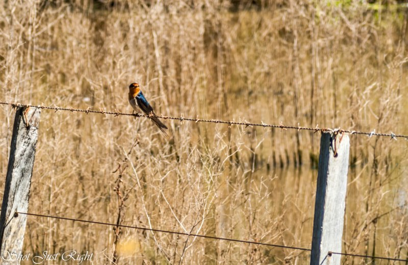 Lone Welcome Swallow