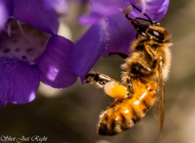Bees Feeding off Eremophilas