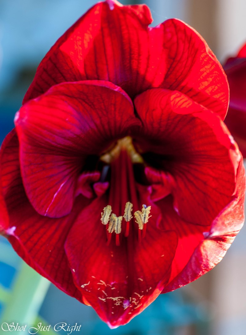 Huge Hippiastrum Flower