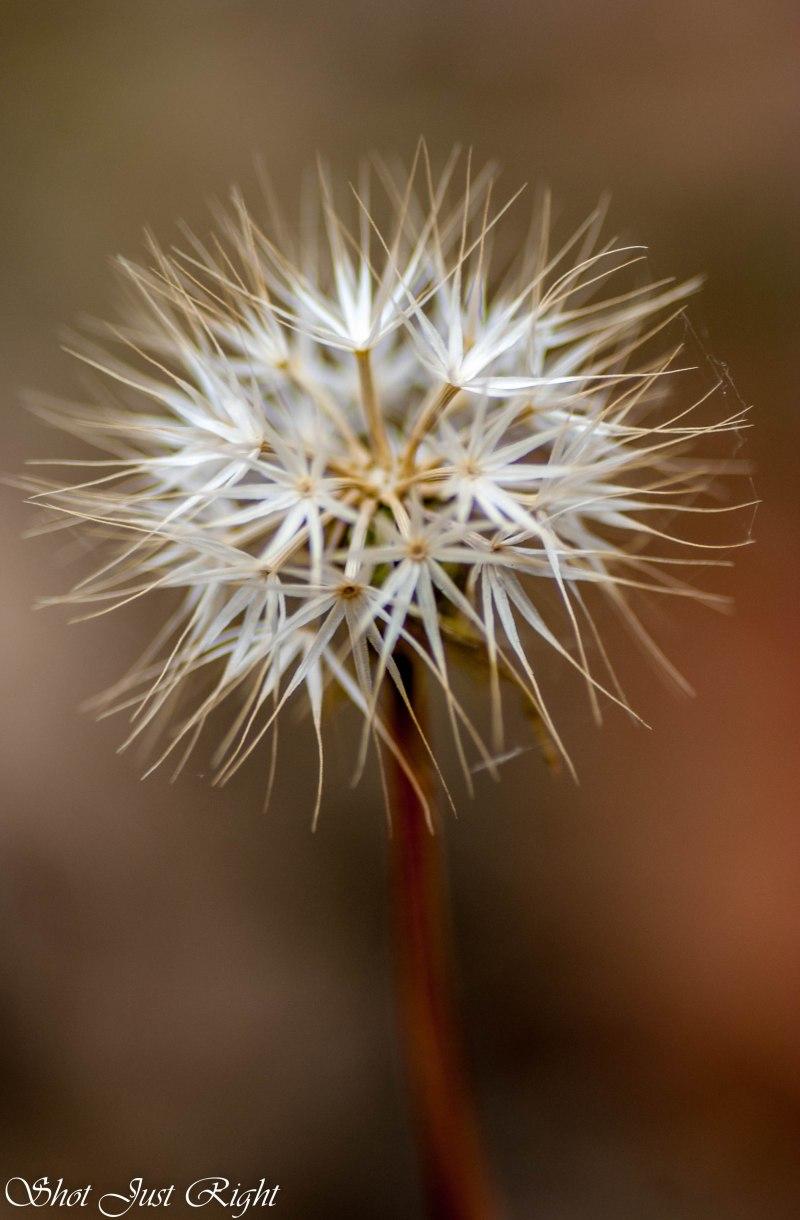 Yam Daisy Seed Head.