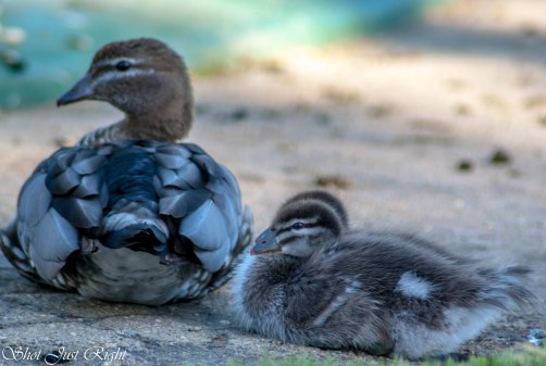 Mum And Ducklings