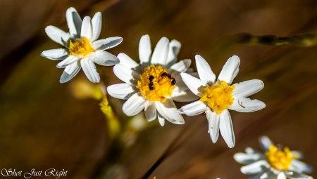 Rhodanthe Corymbiflora - grey Sunray(Small paper Daisy)