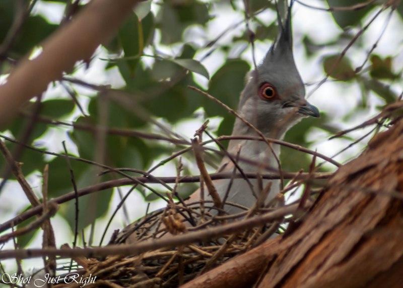 Crested Pigeon Nestling