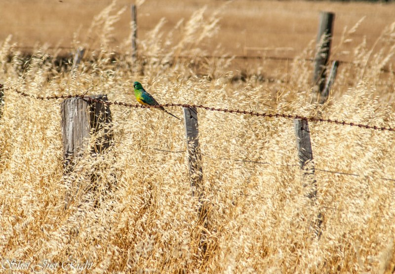 Male Red Rump Parrot on a farm fence