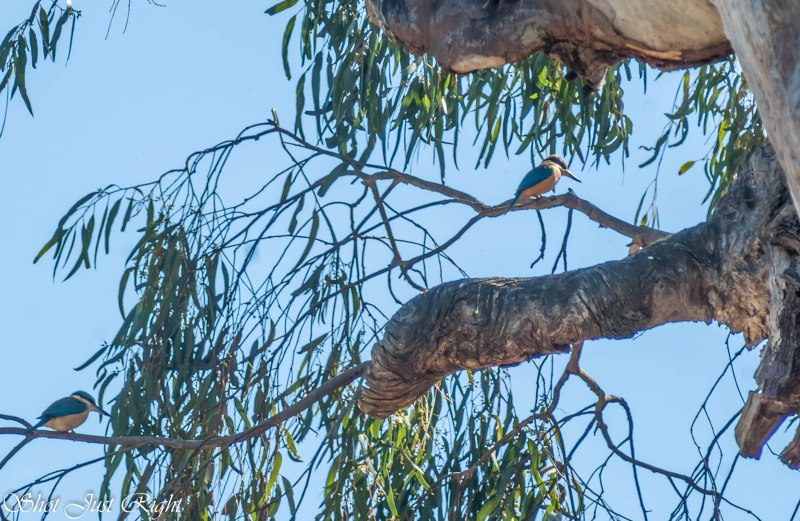 A Pair of Sacred Kingfisher