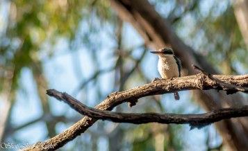 Sacred Kingfisher, Moama N.S.W.